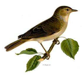 A small bird sitting on a tree branch with a few leaves. The underneath of the bird is light coloured, the back and wings dark brown. The beak is dark brown.