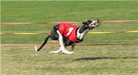 A black and white dog wearing a red jacket emblazoned with the number one. The dog is running, with all four legs tucked under its body and off the ground.