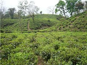 Tea Gardens of Srimongol