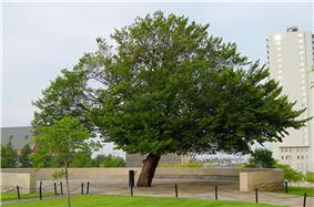 A large elm tree with green leaves is at the center of the image. It is surrounded by a short brick wall, and several nearby buildings can be seen in the background.