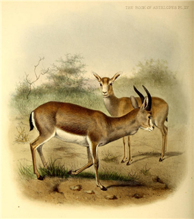 The book of antelopes (1894) Gazella subgutturosa.png