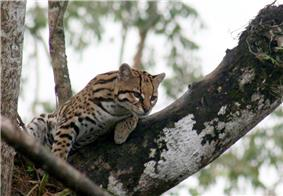 An ocelot lying on a tree branch.