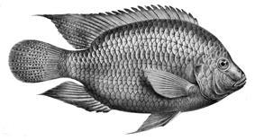 Freshwater fish (tilapia)