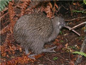 Southern brown kiwi