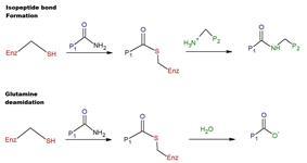 reaction mechanism of tTG