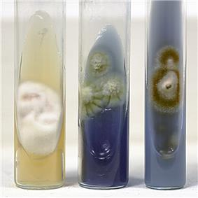 Three tubes of growth medium, the left showing a cottony white colony, the middle with three greenish flat colones and the right with one flat red colony