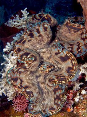 Tridacna squamosa (Giant clam) Manatuto.jpg
