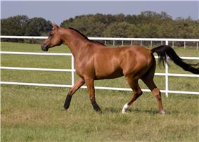 A horse with a reddish-brown body and black mane and tail, trotting in a lush green pasture