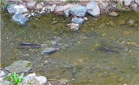 Photo of two pairs of spawning steelhead trout in stream