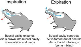 The stages of two-stroke buccal pumping