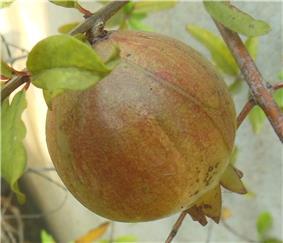 Unripened pomegranate.jpg
