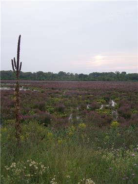 A marshland, with a tall mullein plant on the left