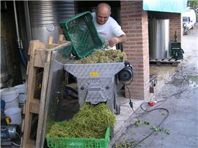 Colour photo showing an Italian winemaker emptying perforated crates of white grapes into a de-stemmer.  The berries are evacuated to the press and stalks fall to the front in a crate.  In the background are stainless steel tanks used for fermentation.