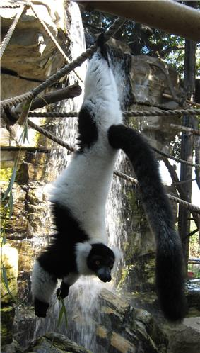 Black-and-white ruffed lemur hanging by its rear feet from a rope, holding some leaves in its hands while looking at the camera