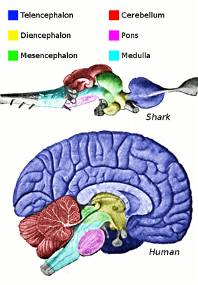 A mid-sagittal view of the brain. The hippocampus is represented by the light blue arc.