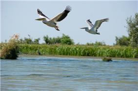 Great White Pelicans danube
