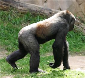A western lowland gorilla knuckle-walking
