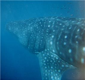 Underwater photograph of left side whale shark from behind showing many spots, faint stripes, and an extended triangular pectoral fin