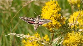 White-lined sphinx moth.JPG