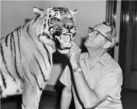 side portrait of bespectacled Wilmer W. Tanner putting his hand in a stuffed tiger's mouth and peering at its face.  The tiger's mouth is open.