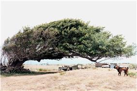 Photograph of a wind-shaped tree at South Point, with a goat and contemporary habitations in the background.