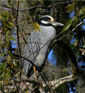 A large gray wading bird with a black, white, and yellow feathered head and a medium-size black and gray beak sitting on a tree branch covered in moss and leaves