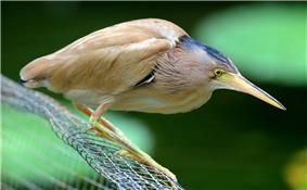 A beige heron with yellow legs and bill stands hunched, its neck hidden in the feathers of the body, on a wire mesh above water.