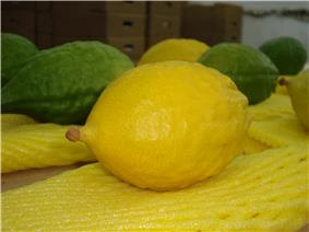 Yellow Etrog.jpg