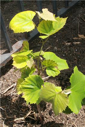 Young Concord grape vine